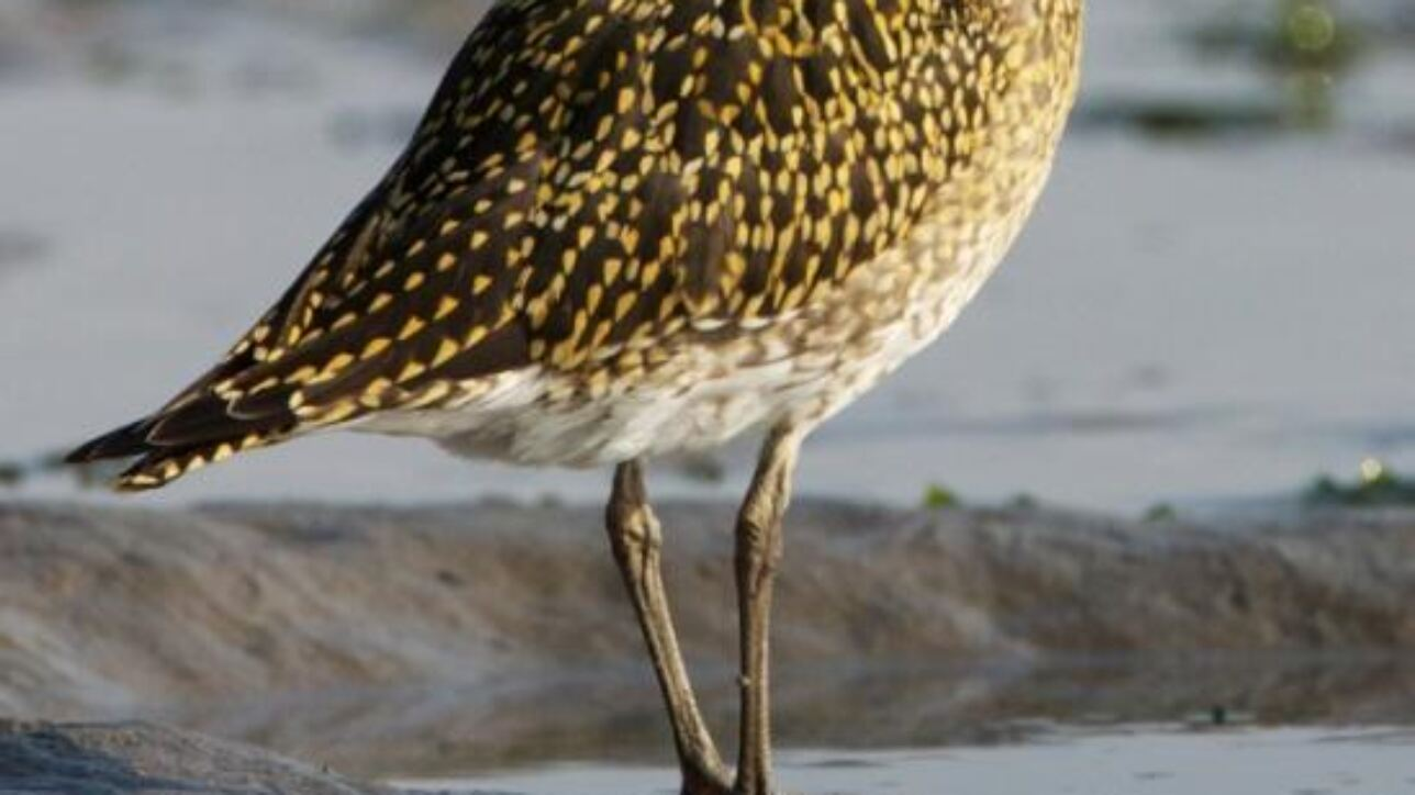 This is a Golden Plover